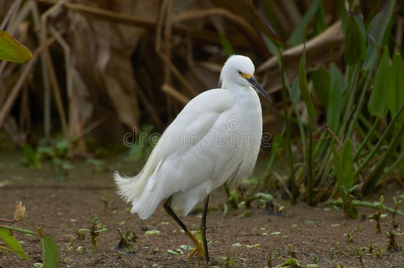 Snowy Egret standing in shallows on edge of wetland royalty free stock photo