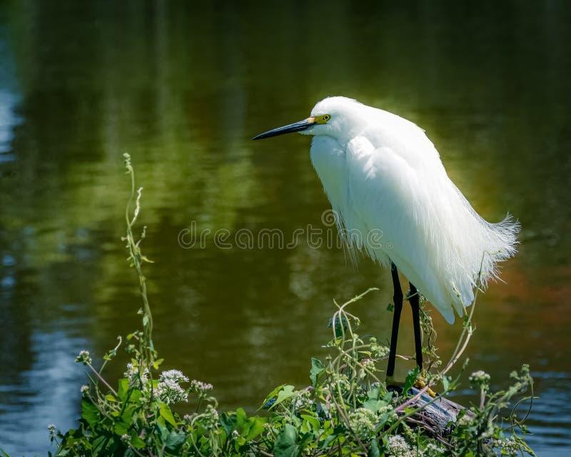 Portrait of a Snowy Egret royalty free stock photos