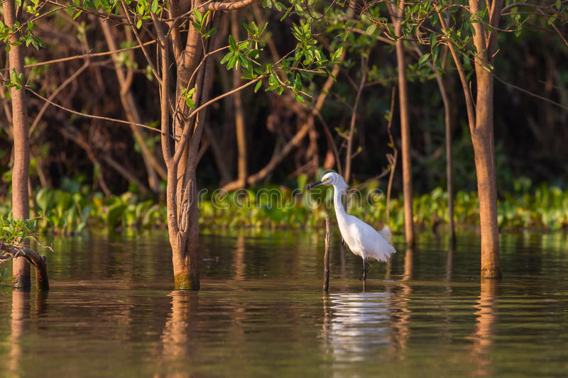 Snowy Egret standing in water royalty free stock photography