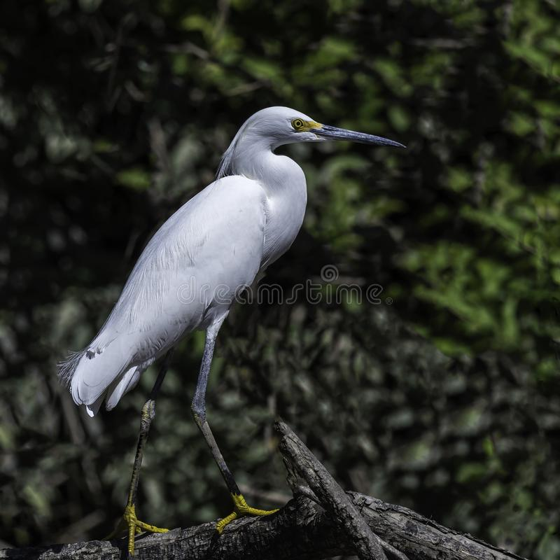 Snowy Egret stands on shoreline royalty free stock photography