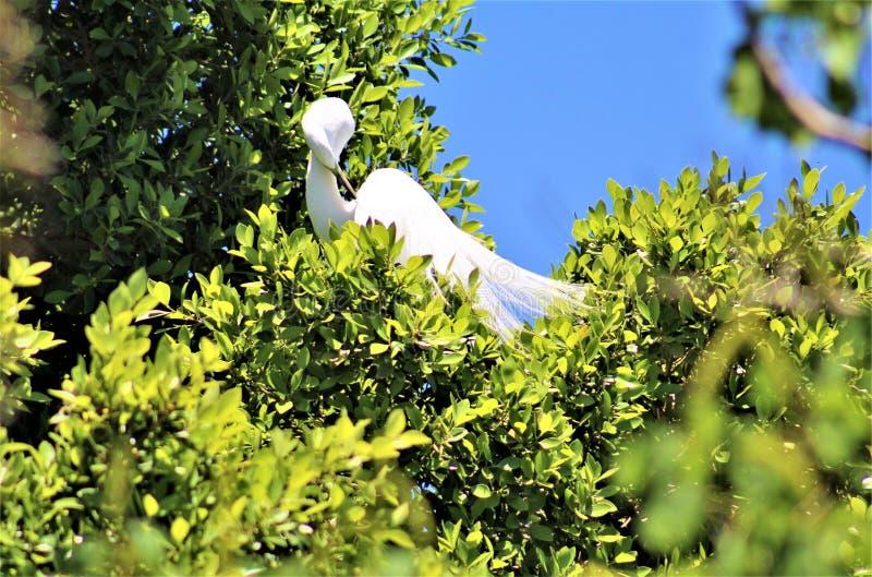 Snowy Egret, Phoenix Zoo, Arizona Center for Nature Conservation, Phoenix, Arizona, United States royalty free stock photos