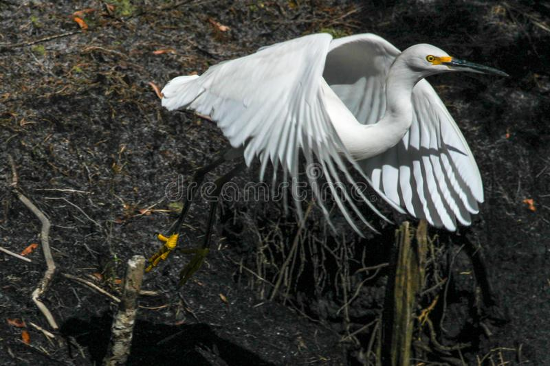 Snowy Egret Taking Off Near Creek. A Snowy Egret takes flight near the Intracoastal Waterway in Palm Valley, Florida stock image