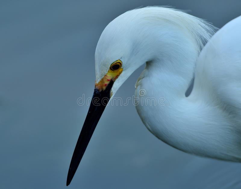 Snowy Egret, up and close royalty free stock photo