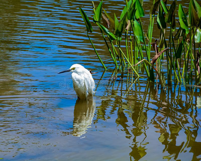 Snowy Egret Standing in a Florida Wetland. Snowy egret wading in the shallow water of a Florida wetland pond with aquatic plants in the background stock photography
