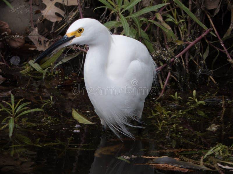 Snowy egret wading in stream stock photo