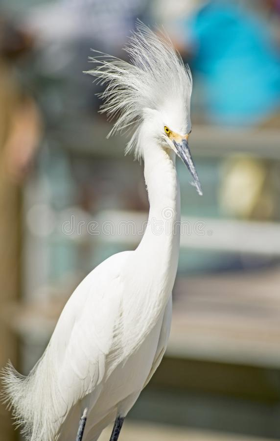 A Snowy Egret walks the piers looking for fish scraps. Close up of a Snowy Egret who is a fisherman`s nuisance royalty free stock photo
