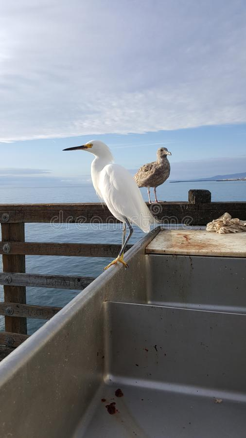 Snowy Egret or White Heron and Young Seagull at Ocean Beach Pier royalty free stock images
