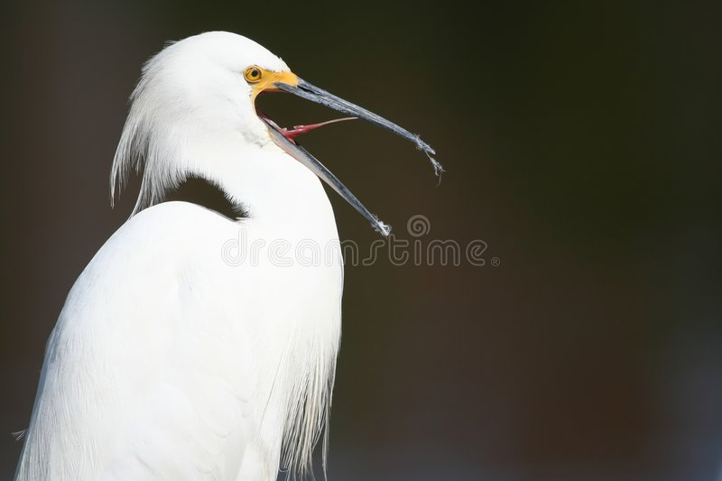 Snowy Egret yawning royalty free stock photos
