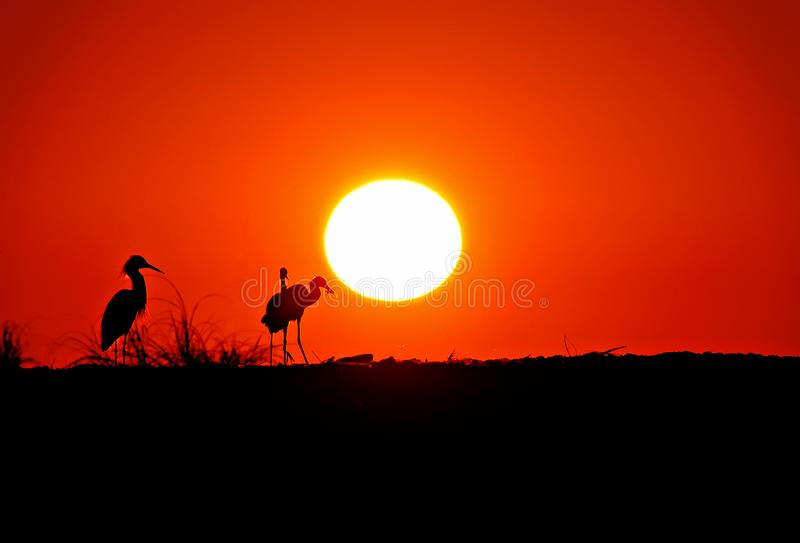 Snowy egrets silhouetted against an orange sunset. Snowy egrets silhouetted against an orange sunset and black foreground at Wiggins Pass, Florida royalty free stock photos