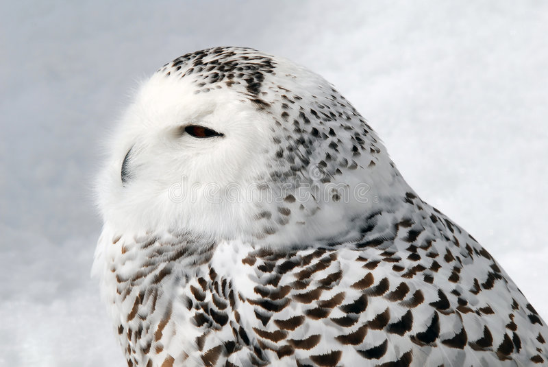 Snowy-Eule lizenzfreies stockbild