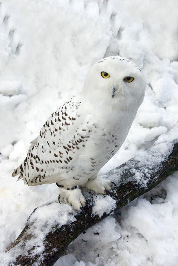Snowy-Eule im Schnee stockfotos