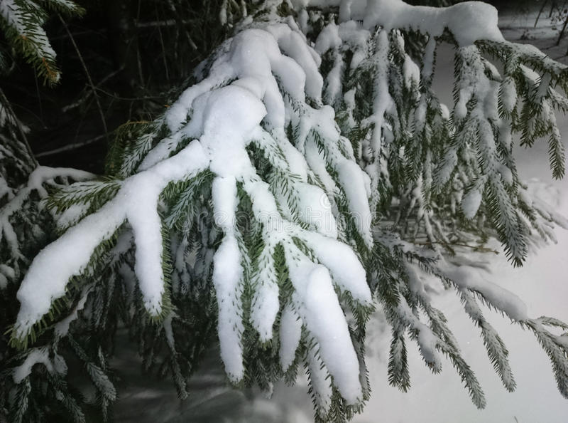Snowy fir branch stock photography