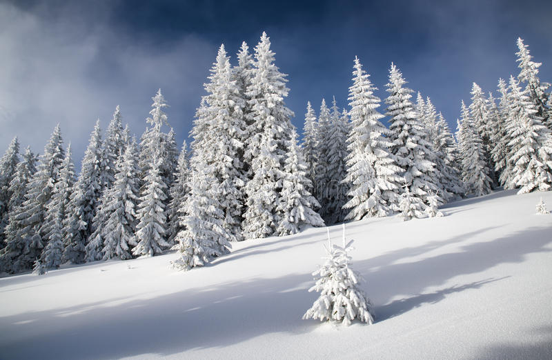 Snowy fir trees and blue sky. In beautiful winter forest. Great Fatra mountains, Slovakia stock image