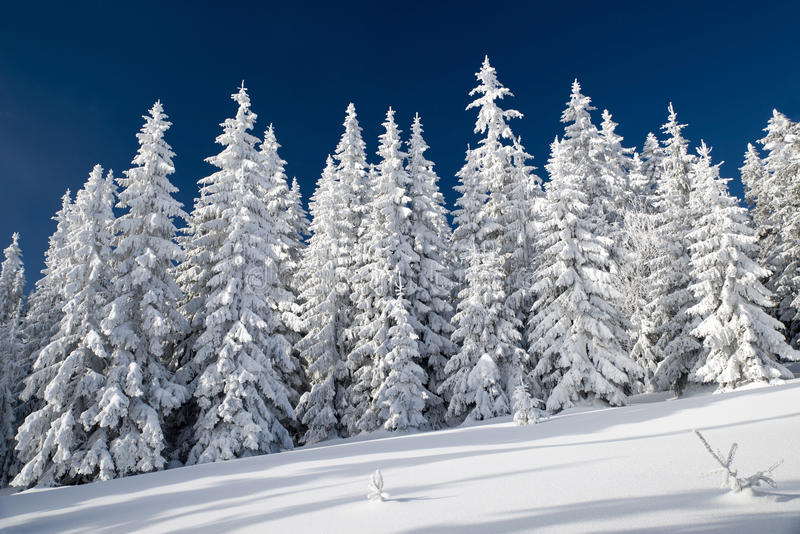 Snowy fir trees and blue sky. In beautiful winter forest. Great Fatra mountains, Slovakia stock photography