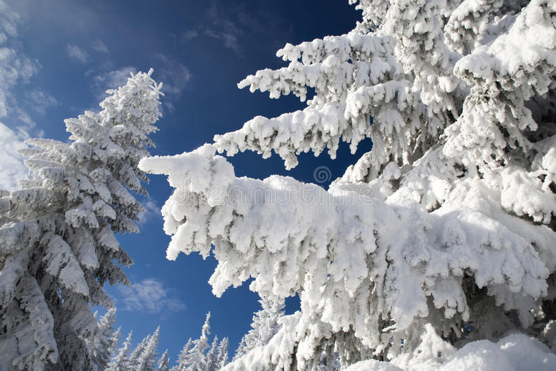 Snowy fir trees and blue sky. In beautiful winter forest. Great Fatra mountains, Slovakia royalty free stock images