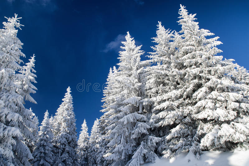 Snowy fir trees and blue sky. In winter forest stock photos