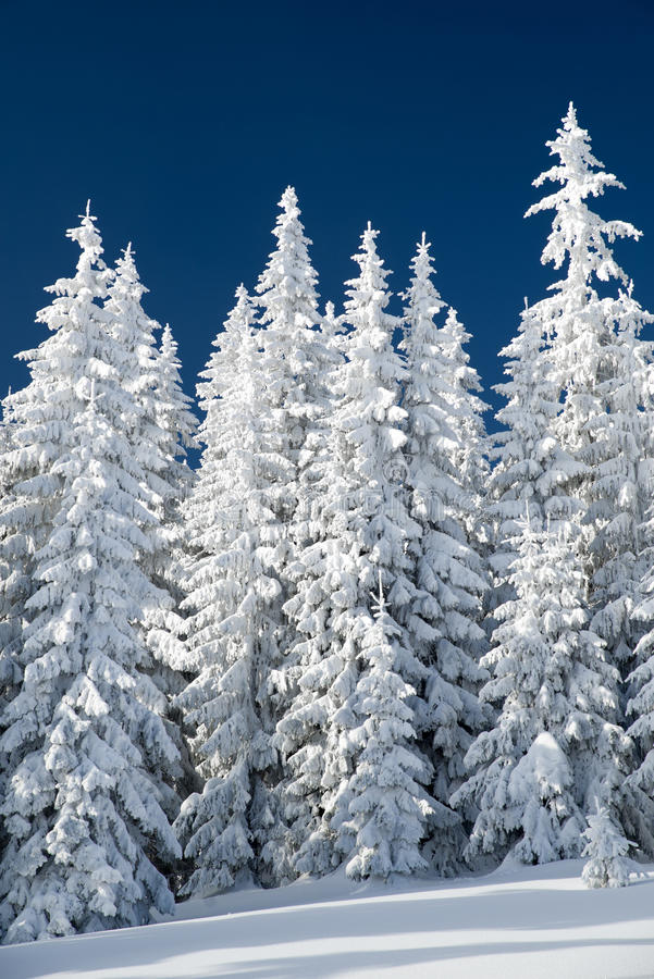 Snowy fir trees and blue sky. In winter forest royalty free stock images