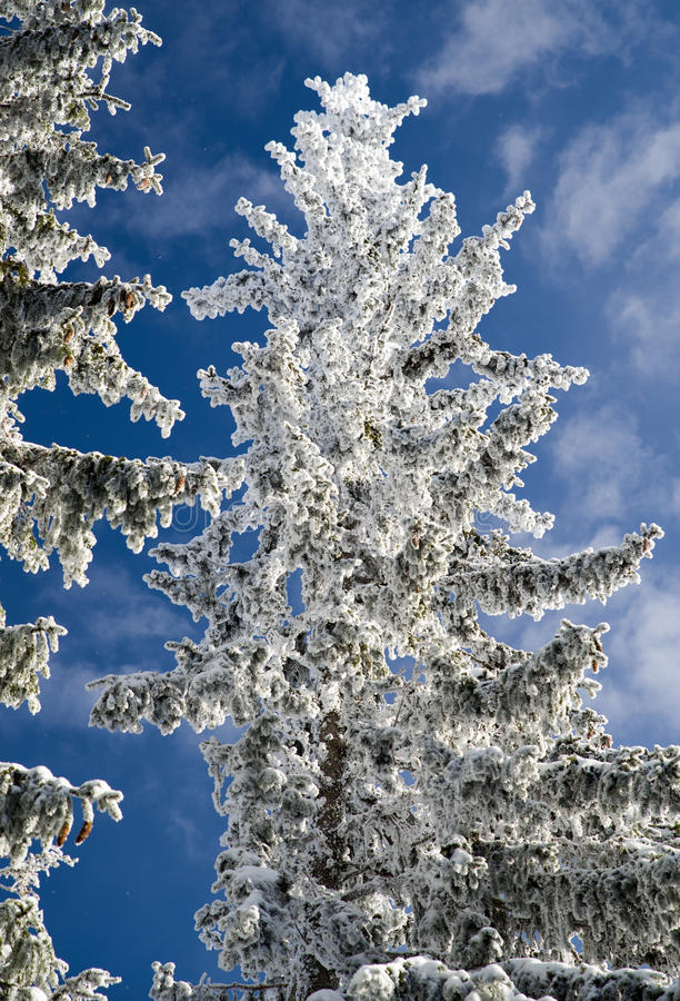 Snowy fir trees and blue sky. In winter forest royalty free stock image