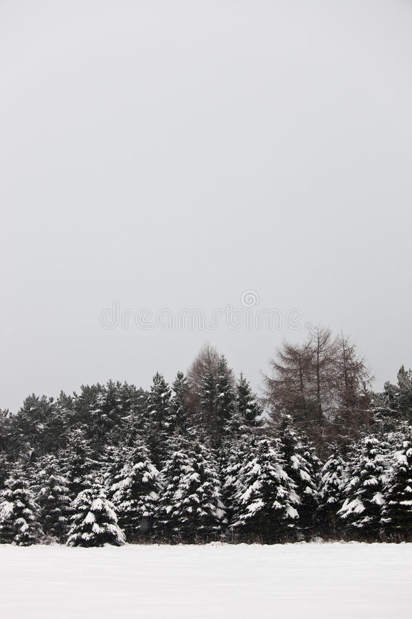 Snowy fir trees with copyspace for your text royalty free stock photos