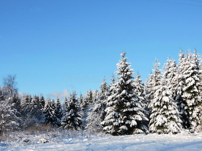 Download Snowy Fir  Trees, Lithuania Stock Photo - Image: 83714156