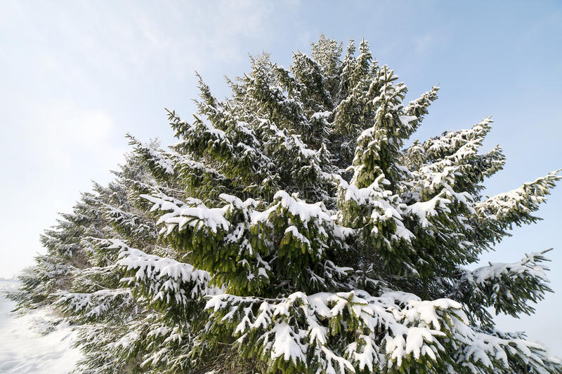 Download Snowy Firs. Stock Image - Image: 23030041