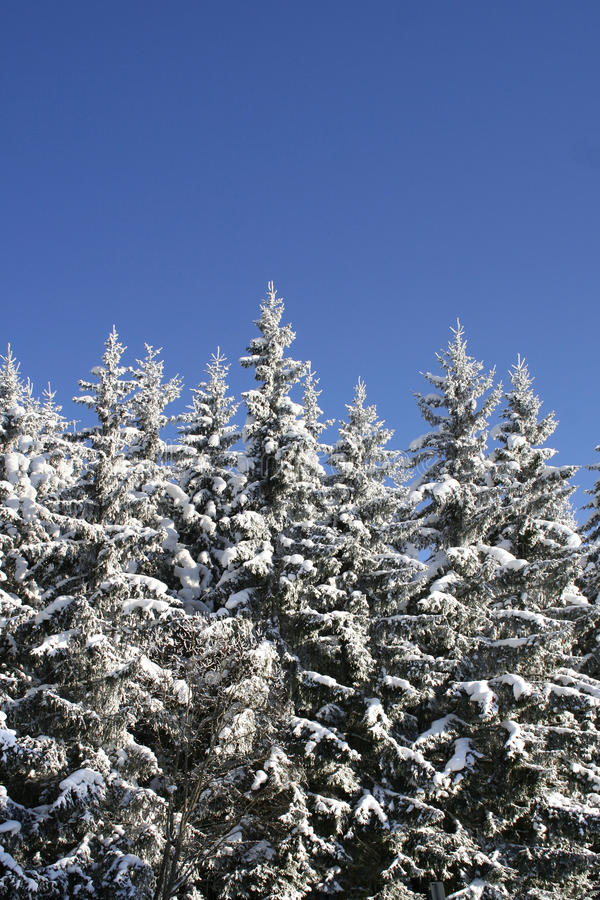 Download Snowy forest stock photo. Image of december, white, xmas - 13077448