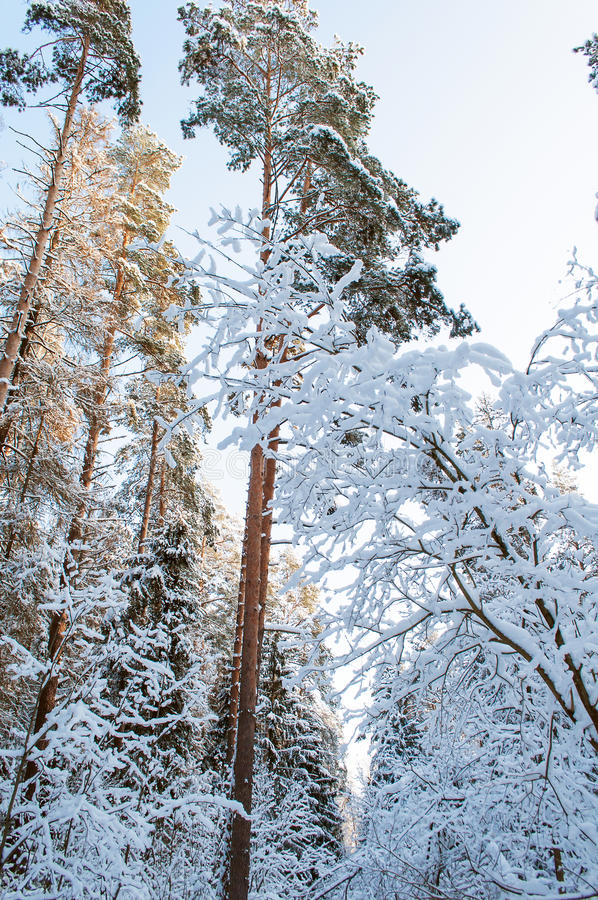 Download Snowy forest stock image. Image of trails, covered, trees - 36977743