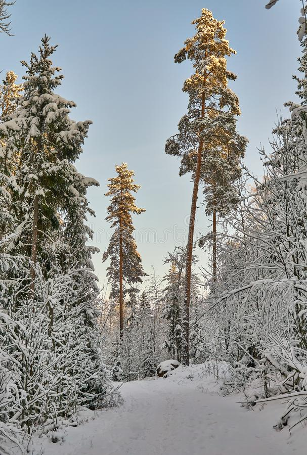 Snowy forest. Path in snowy forest. Clear, cold winter day. Big trees stock photo