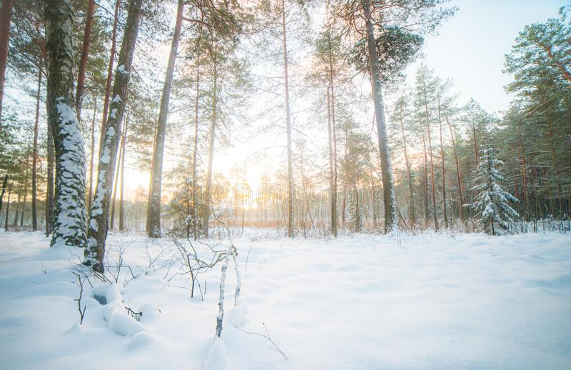Snowy forest. Scene panorama of outdoors nature stock image