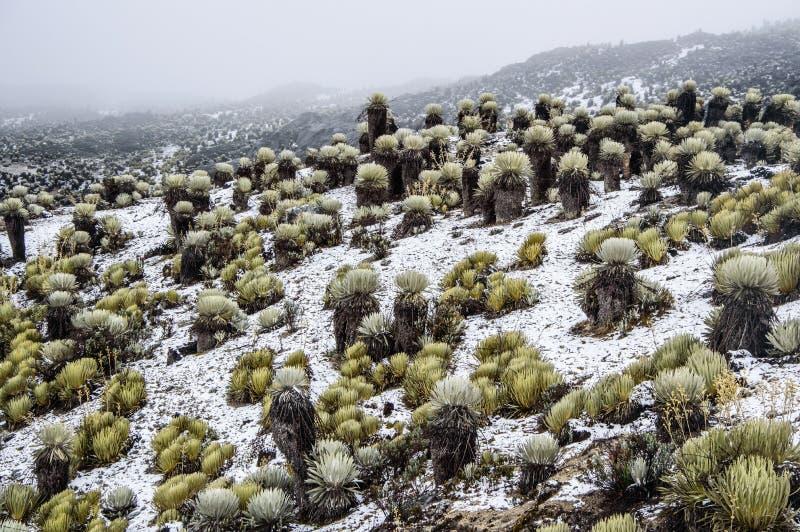 Snowy Frailejones. Snow valley with frailejones from La Culata National Park in Merida, Venezuela stock photography