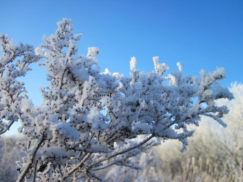 Snowy grass branch in winter, Lithuania royalty free stock photography