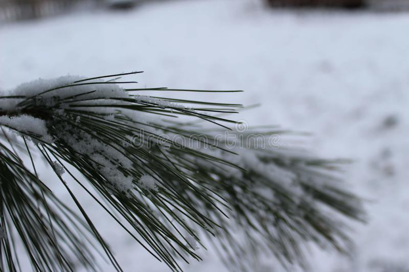 Snowy green pine needles stock images