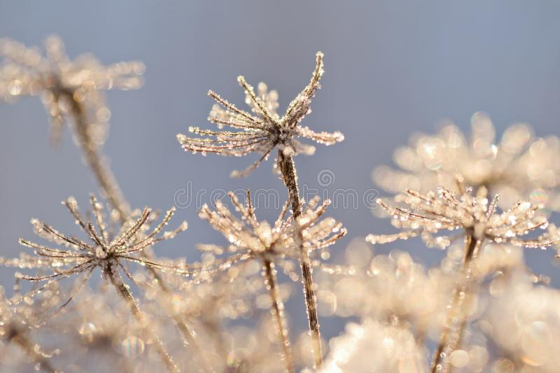 Snowy hogweed flower. Closeup in sunny winter day stock images