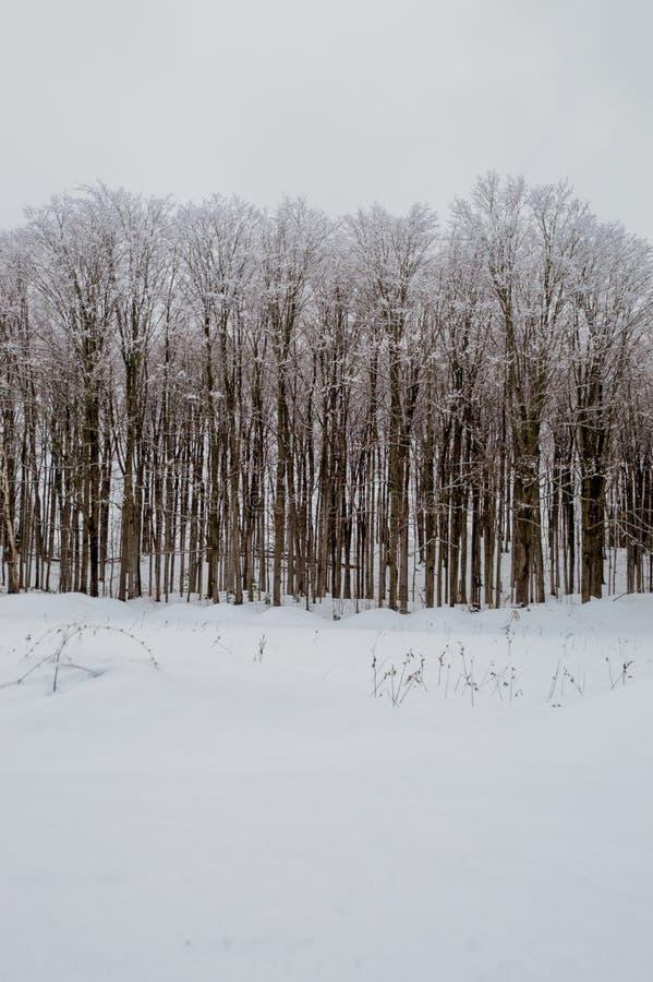 Snowy-Holz mit Ahornbäumen in einer Weidelandschaft lizenzfreie stockfotos