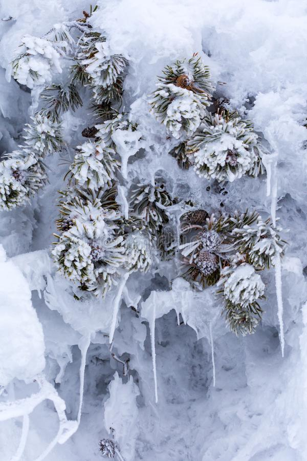 Snowy, icey pine tree branches with pine cones. Encapsulated by the steam rising from the nearby hot springs stock photography