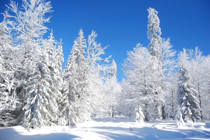 Snowy-Kiefer stockbilder