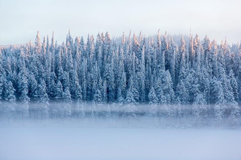 Snowy-Kiefer mit Nebel auf einem Winter gestalten landschaftlich stockbilder
