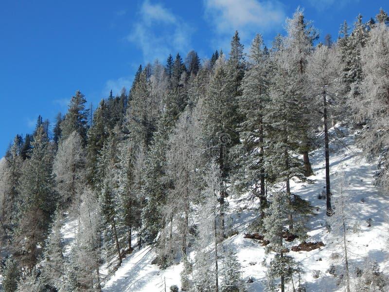 Snowy-Kiefern stockbild