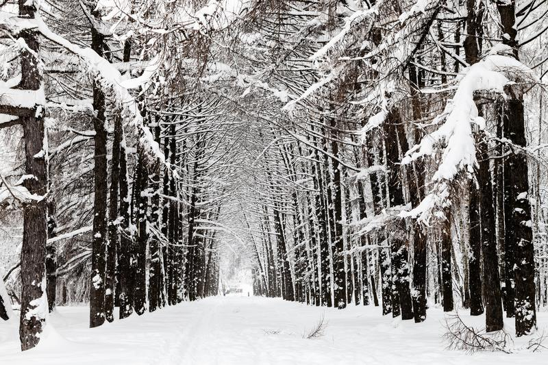 snowy larch alley in urban park in winter royalty free stock photos