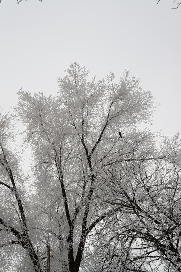 Snowy large tree covered drizzle looks very nice royalty free stock images