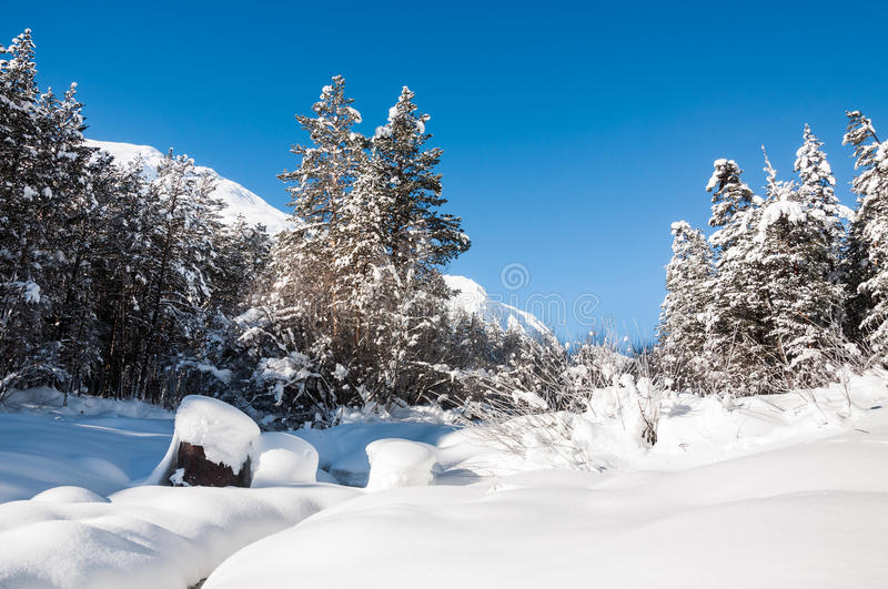 Snowy mountain river with spruce forest at cold winter day royalty free stock images