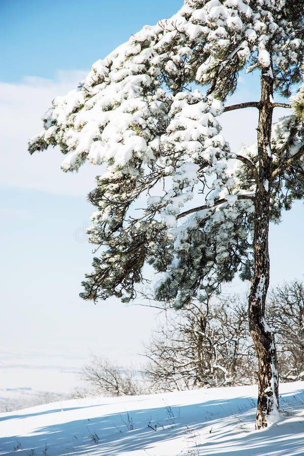 Snowy-Nadelbaumbaum stockfotos