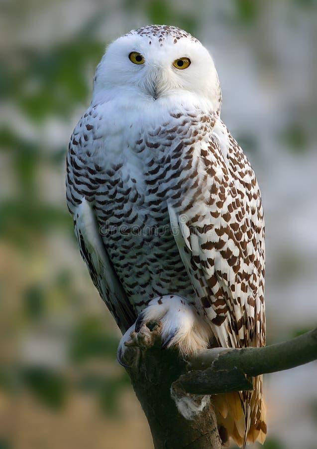 Download Snowy Owl stock image. Image of white, bubo, predator - 11287719