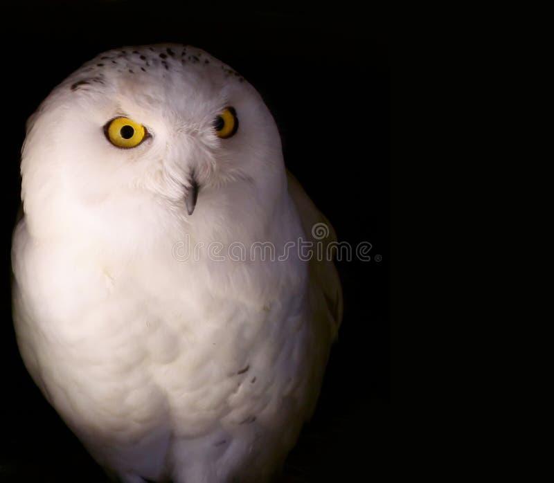 Download Snowy Owl stock photo. Image of animal, snowy, flight - 14666574