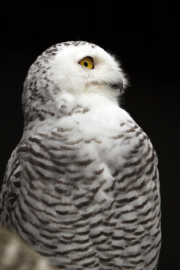 Download Snowy Owl stock photo. Image of eyeing, night, birds - 17664346