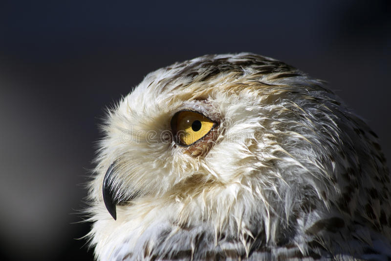 Download Snowy owl stock image. Image of prey, nature, market - 21896407