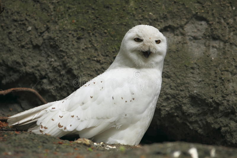 Download Snowy owl stock photo. Image of rock, animal, bird, bubo - 23247376