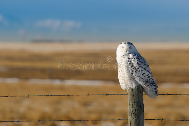 Download Snowy Owl stock image. Image of feather, snowy, prairies - 23356815