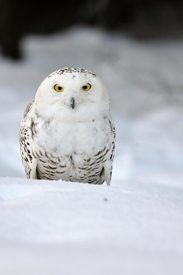 Download Snowy owl stock image. Image of cold, white, season, hunting - 24014059