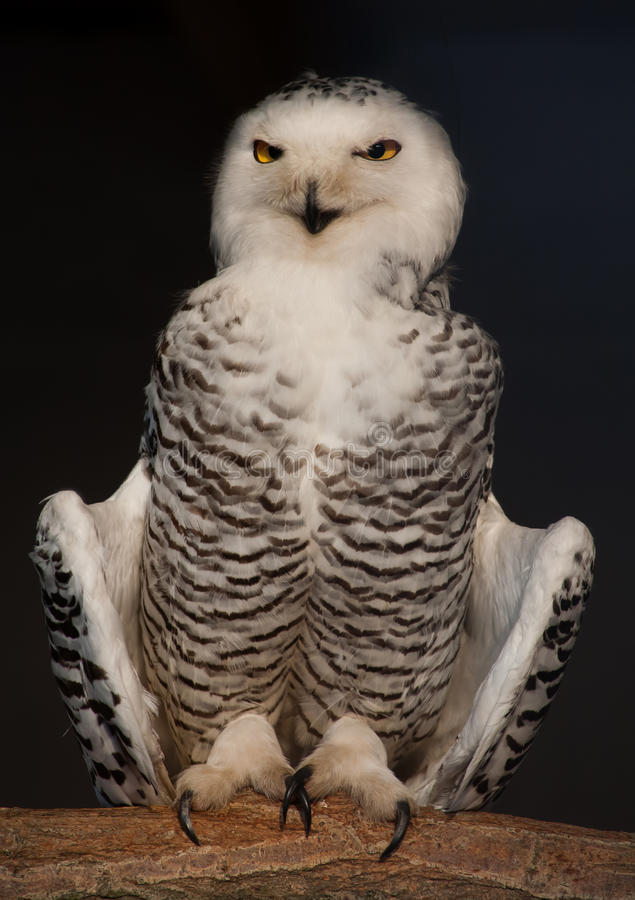 Download Snowy Owl stock photo. Image of nocturnal, harfang, nest - 24613550